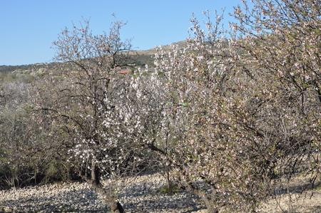 The beautiful Almond in farmland Banco de Imagens