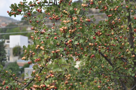 The beautiful wild apples in farmland