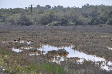 The beautiful birds glossy ibis in the natural environment