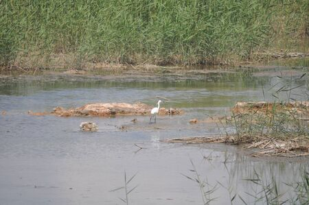 The beautiful birds Little egret in the natural environment 版權商用圖片