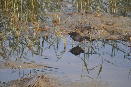 The beautiful bird Common moorhen (Gallinula chloropus) in the natural environment 免版税图像