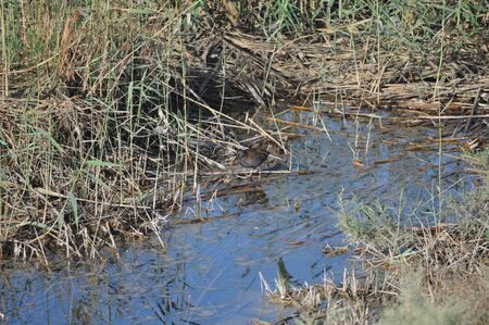 The beautiful bird Little crake (Porzana parva) in the natural environment