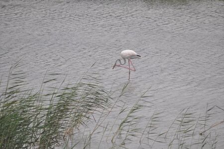 The beautiful bird Flamingo in the natural environment in Lady's Mile Limassol Stock Photo