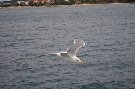 The beautiful bird European herring gull (Larus argentatus) in the natural environment 免版税图像