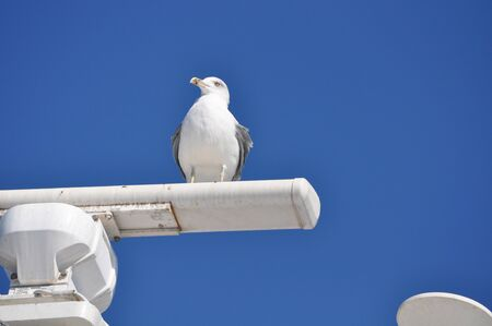 The beautiful bird European herring gull (Larus argentatus) in the natural environment Stok Fotoğraf