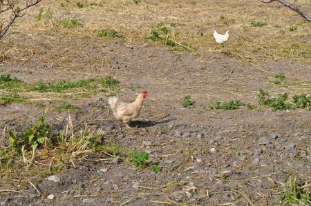 The beautiful Animal Chicken in the natural environment (farm)