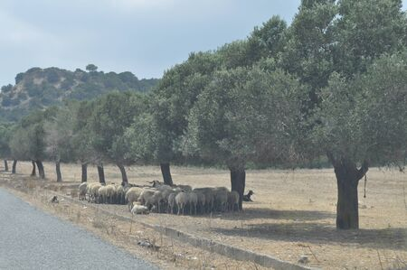 The beautiful Animal Sheep in the natural environment (farm)