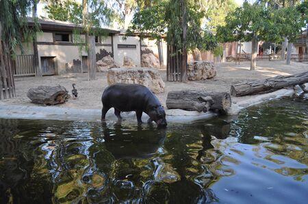 The beautiful Animal hippopotamus in the natural environment (farm)