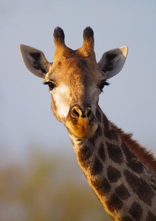 giraffa camelopardalis: Close-up portrait of a giraffe head (Giraffa Camelopardalis) Stock Photo