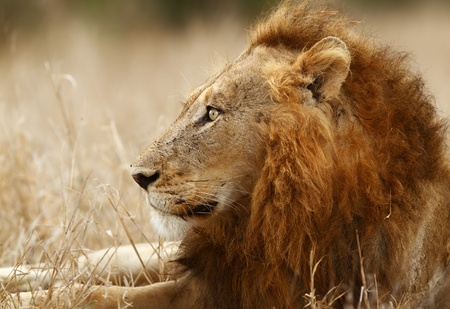 Male lion lying in the winter grass ( Kruger National Park - South Africa )