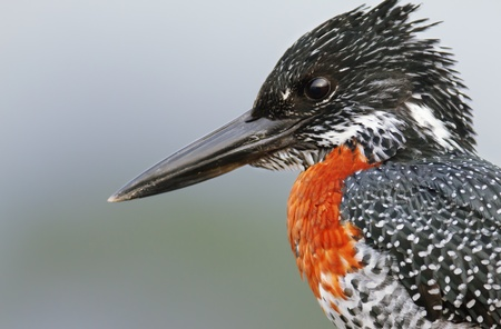 black giant: Close-up portrait of a Giant Kingfisher ( Megaceryle maxima - Kruger National Park - South Africa ) Stock Photo