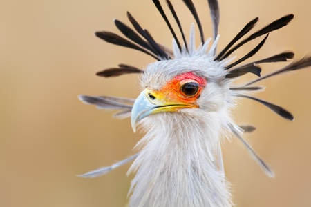birds eye view: Portrait of a secretary bird - Sagittarius serpentarius - Kruger National Park - South Africa
