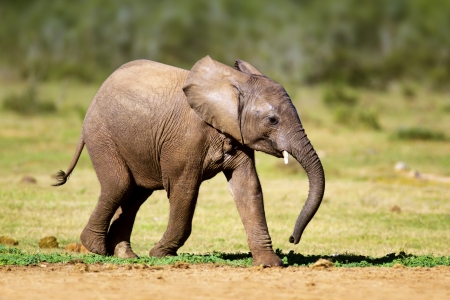 Baby Elephant running - Addo National Park Stock Photo - 17740866