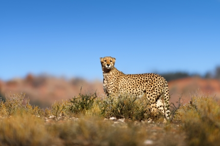 kalahari: Cheetah on top of a hill  - Kalahari desert - South Africa Stock Photo