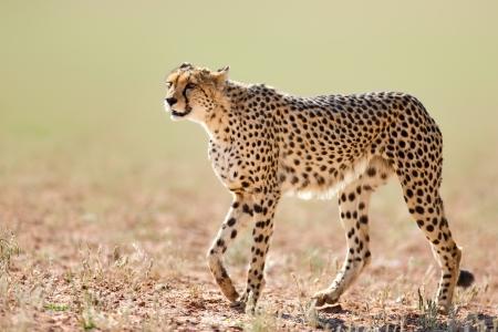 Cheetah walking on open plains  - Kalahari desert - South Africa
