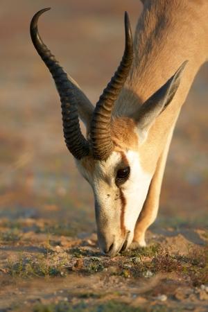 springbuck: Springbok portrait feeding on fresh foliage - Kalahari desert - South Africa
