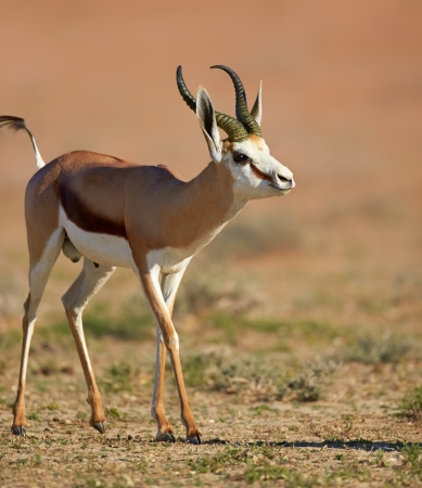 springbok: Springbok  - Kalahari desert - South Africa Stock Photo