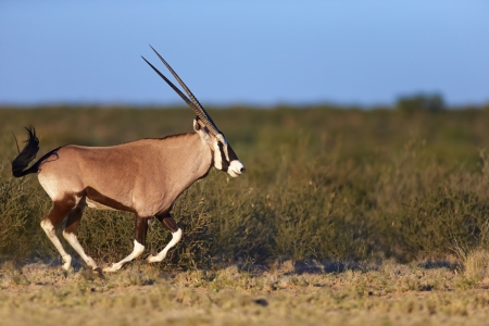 Gemsbok running ( Oryx gazella) - Kalahari -  South Africa photo
