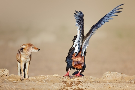 Bateleur disturbed by a jackal at waterhole ( Terathopius  ecaudatus) - Kalahari - South Africa photo