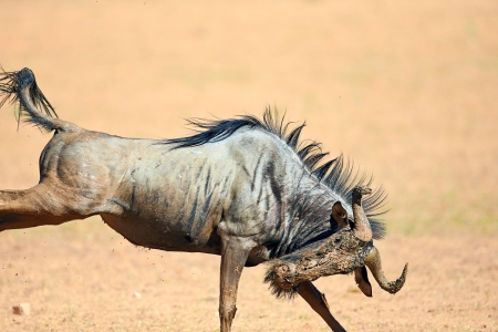 Muddy Blue wildebeest on the run (  Taurinus; connochaetes ) - Kalahari desert - South Africa photo