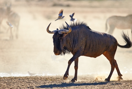 Blue wildebeest on dusty plains (  Taurinus; connochaetes ) - Kalahari desert - South Africa photo