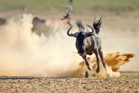 Blue wildebeest running on dusty plains (  Taurinus; connochaetes ) - Kalahari desert - South Africa photo