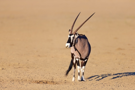 Gemsbok in the desert ( Oryx gazella) - Kalahari -  South Africa photo
