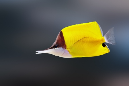 Longnose butterflyfish ( Forcipiger flavissimus )