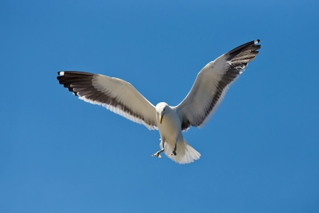 Seagull coming in for a landing (Larus dominicanus)