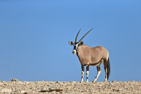 Gemsbok standing on top of a rocky hill ( Oryx gazella) - Kalahari -  South Africa photo