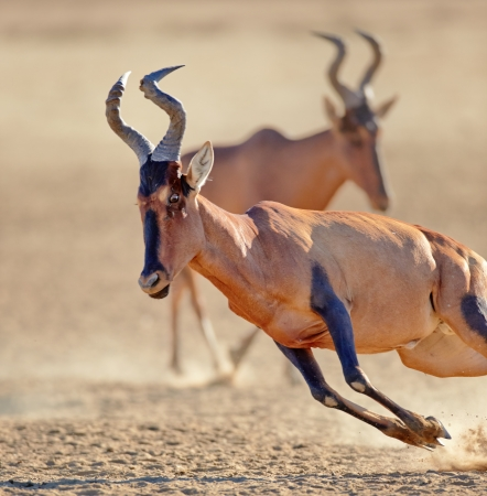 Red hartebeest on the run - close-up  ( Alcelaphus caama ) -  Kalahari desert -  South Africa