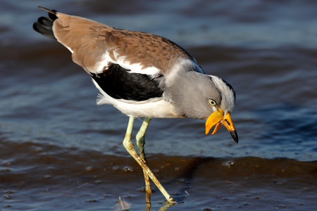 White-crowned lapwing (Vanellus albiceps) wading in water - Kruger National Park (South Africa)