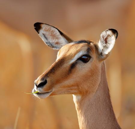 Young Impala (Aepyceros melampus) portrait  Stock Photo