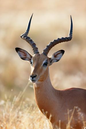 grassfield: Impala male (Aepyceros melampus) portrait close-up - Kruger National park (South Africa) Stock Photo