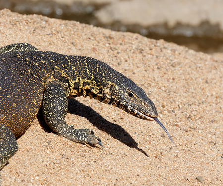 Nile or Water monitor (Varanus niloticus) on sandy river bank