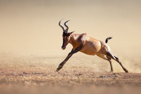 kalahari: Red hartebeest Alcelaphus caama running at full speed  Kalahari desert   South Africa
