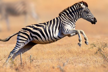 Zebra (Equus burchell's) running and jumping - Kruger National park (South Africa) 스톡 콘텐츠