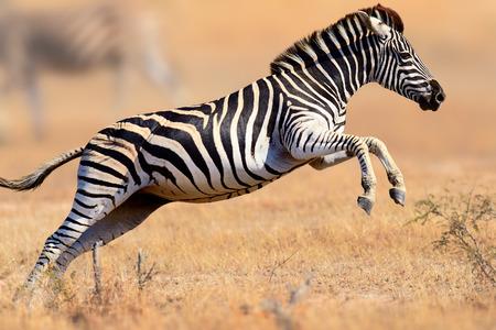 Cebra (cebra del Equus) correr y saltar - Parque Nacional Kruger (Sudáfrica)