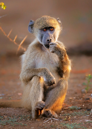 south africa soil: Pensive Chacma baboon (Papio cynocephalus) under a tree - Kruger National park (South Africa)