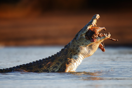 animal feed: Nile crocodile (crocodylus niloticus) swallowing an Impala Stock Photo