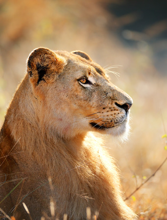kruger national park: Lioness female (Panthera leo) profile view closeup