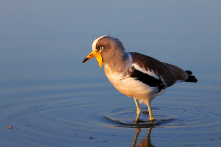 wading: White-crowned lapwing (Vanellus albiceps) wading in water Stock Photo