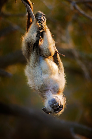 Playful Chacma baboon (Papio cynocephalus) hanging upside down from branch - Kruger National park (South Africa)