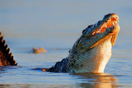 Nile crocodile (crocodylus niloticus) breaking the surface swallowing prey