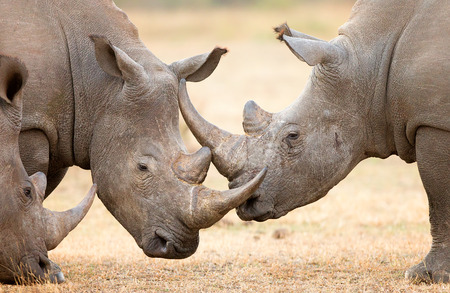 locking: White Rhinoceros (Ceratotherium Simum) locking horns and interacting in the Kruger National Park (South Africa)