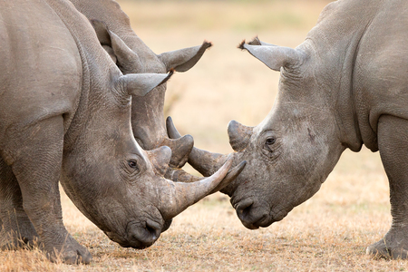 Three White Rhinoceros bulls (Ceratotherium Simum) locking horns and interacting in the Kruger National Park (South Africa)