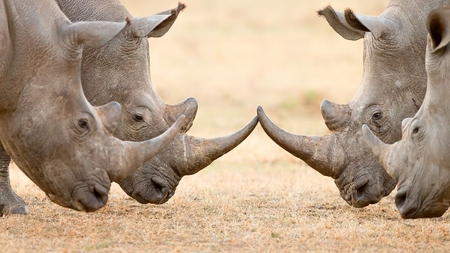 Four White Rhinoceros bulls (Ceratotherium Simum) locking horns and interacting in the Kruger National Park (South Africa)