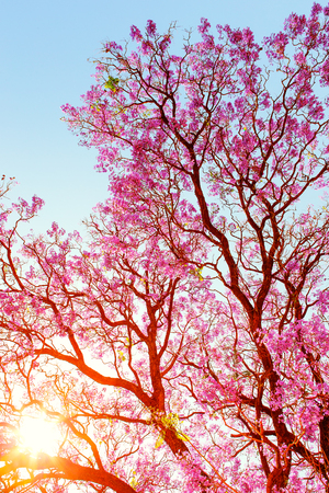 Sun rays breaking through the branches and beautiful pink flowers of a Jakaranda tree