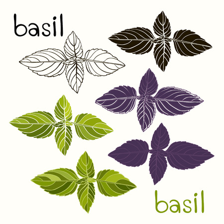 potherb: Basil  Six options  Vector illustration  Can be used as a design element