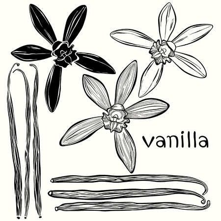 flor de vainilla: Vanilla establecido. Dibujado a mano ilustraci�n vectorial, puede ser utilizado como un elemento de dise�o.